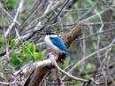 image 5598 of Collared Kingfisher