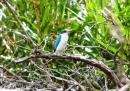 image 7914 of Collared Kingfisher