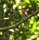 image 3356 of Red-bearded Bee-eater