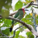 image 7360 of Red-bearded Bee-eater