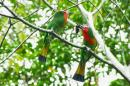 image 6583 of Red-bearded Bee-eater