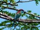 image 6592 of Blue-throated Bee-eater