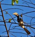 image 7708 of Oriental Pied Hornbill