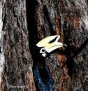 image 8125 of Oriental Pied Hornbill