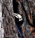 image 8124 of Oriental Pied Hornbill