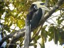 image 5814 of BUCEROTIDAE Hornbills