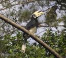 image 3715 of Oriental Pied Hornbill