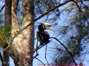image 5605 of Oriental Pied Hornbill