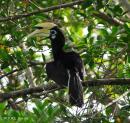 image 4663 of Oriental Pied Hornbill