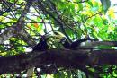 image 4665 of Oriental Pied Hornbill