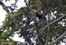 image 6367 of Oriental Pied Hornbill