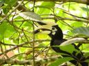 image 5705 of Oriental Pied Hornbill
