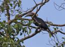 image 4195 of Black Hornbill