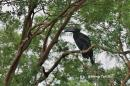 image 501 of Black Hornbill