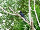 image 7900 of Black Hornbill