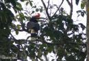 image 6370 of Rhinoceros Hornbill