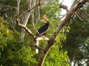 image 5707 of Rhinoceros Hornbill