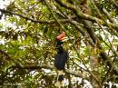 image 7895 of Rhinoceros Hornbill