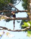 image 8161 of Helmeted Hornbill