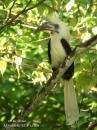 image 3348 of White-crowned Hornbill