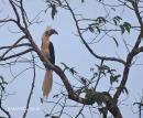 image 4209 of White-crowned Hornbill