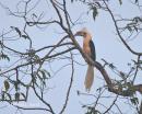 image 4208 of BUCEROTIDAE Hornbills