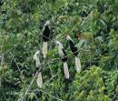 image 7321 of White-crowned Hornbill