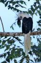 image 623 of White-crowned Hornbill