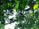 image 7957 of White-crowned Hornbill