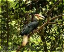 image 3653 of Wreathed Hornbill