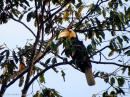 image 6016 of Wreathed Hornbill