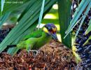 image 7603 of Gold-whiskered Barbet