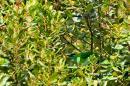 image 627 of Golden-naped Barbet