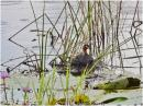 image 8210 of Little Grebe