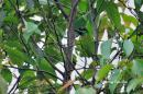 image 765 of Bornean Barbet
