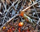 image 7608 of Bornean Brown Barbet
