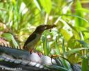 image 7610 of Bornean Brown Barbet