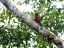 image 7960 of Rufous Woodpecker