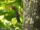 image 3349 of White-bellied Woodpecker