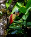 image 5791 of Crimson-winged Woodpecker
