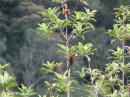 image 1639 of Crimson-winged Woodpecker
