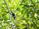 image 7909 of Buff-rumped Woodpecker