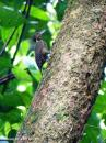 image 7910 of Buff-necked Woodpecker