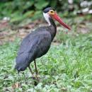 image 1990 of CICONIIDAE Storks