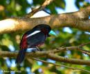 image 7662 of Black-and red Broadbill