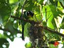 image 3355 of Long-tailed Broadbill