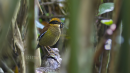 image 6628 of Bornean Banded Pitta