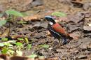 image 6570 of Blue-headed Pitta