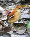 image 6764 of Blue-headed Pitta