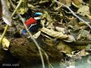 image 7903 of Blue-headed Pitta